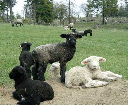 Lambs Play King of the Hill
