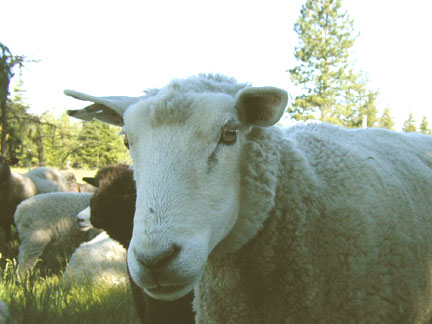 April, Grand Old Dam of the Flock
