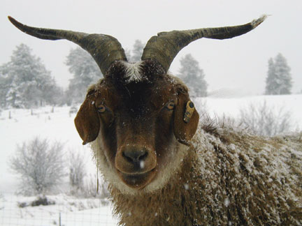 Brownie the cashmere goat