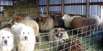 2 Pyrenees & ewes wait for shearing
