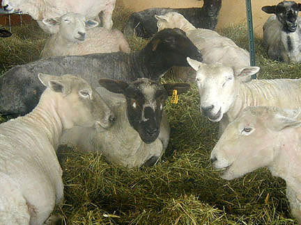 Ewes party after shearing