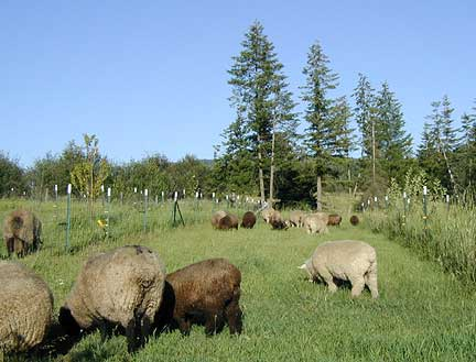 Ewes & lambs graze orchard