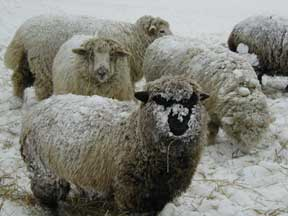 Lambs in Snowstorm
