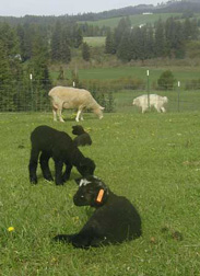 Three young lambs enjoy the warm spring day.